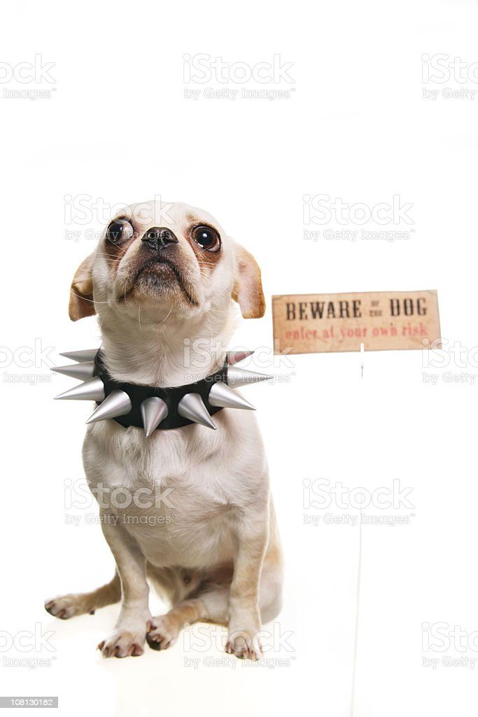 Little Dog Wearing Spiked Collar with Beware of Sign stock photo