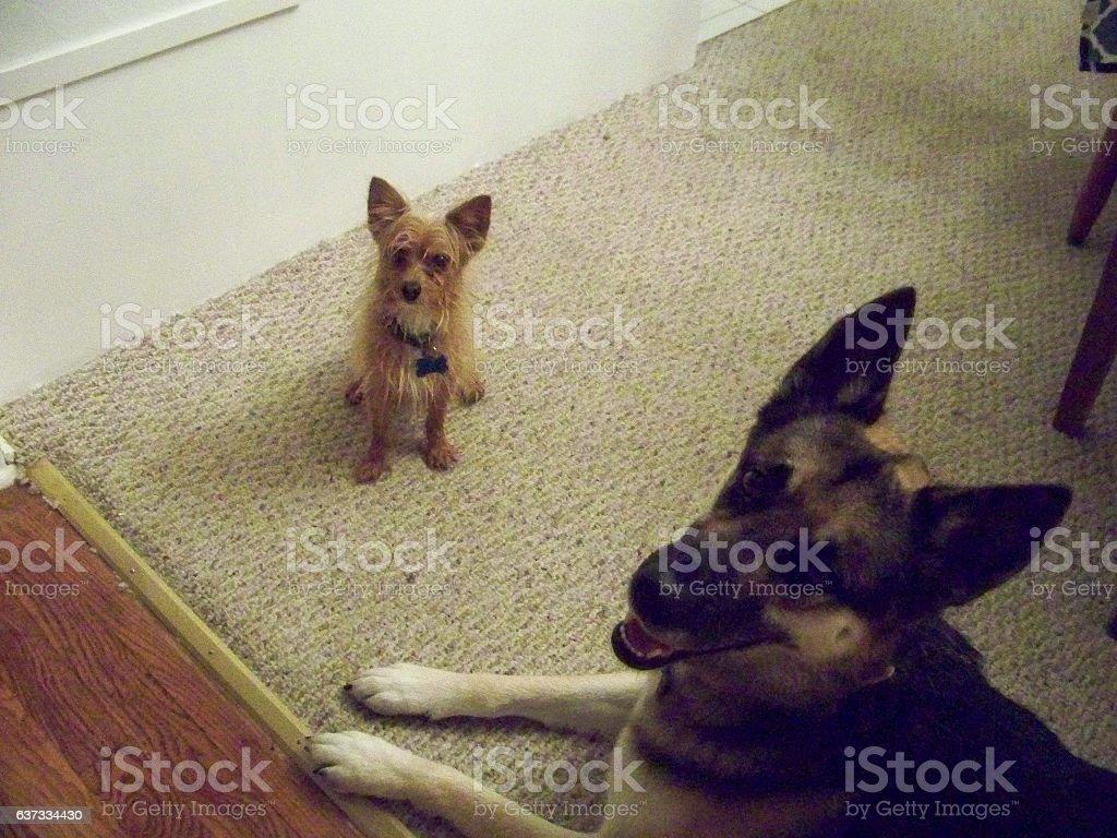 A little wet Yorkie/Pom mix dog with a big dry German Shepherd.