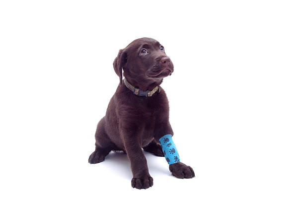 little dog with its paw in a bandage – Foto