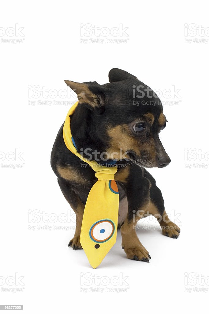 little dog with yellow cravat royalty-free stock photo