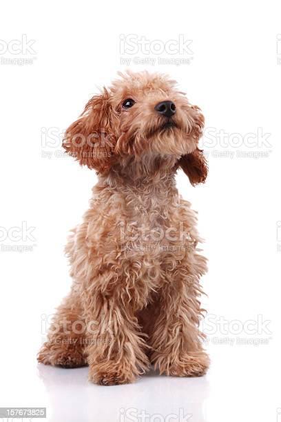 Little dog xxxlarge picture id157673825?b=1&k=6&m=157673825&s=612x612&h=b0oekqwnpzaluosrmy8gedqakcw4ovd5miqdfxafjlk=
