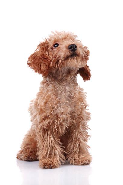 Little dog xxxlarge picture id157673825?b=1&k=6&m=157673825&s=612x612&w=0&h=zci2isag qredivlsmvj16hfuecg fanijselum1j0k=