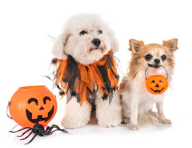 kleine hunde und halloween - hund spinnenkostüm stock-fotos und bilder