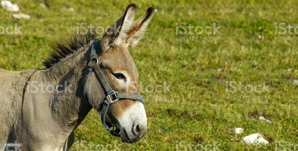 Little burro - foto de stock