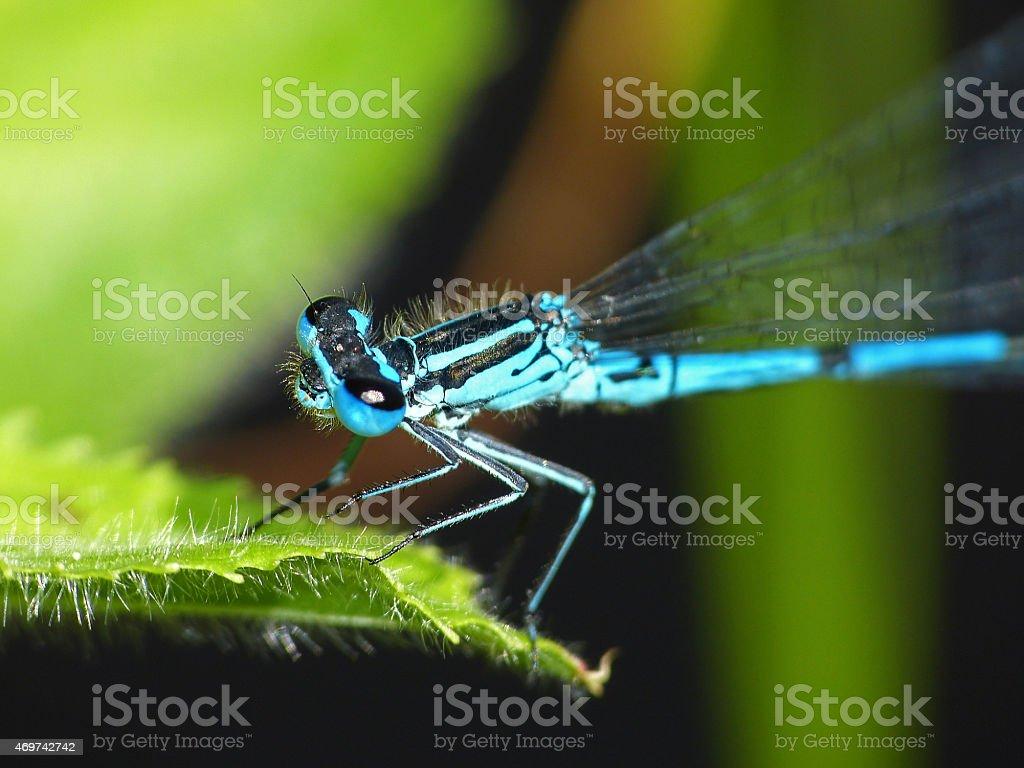 Little dragonfly turkish damselfly blue up leaf stock photo