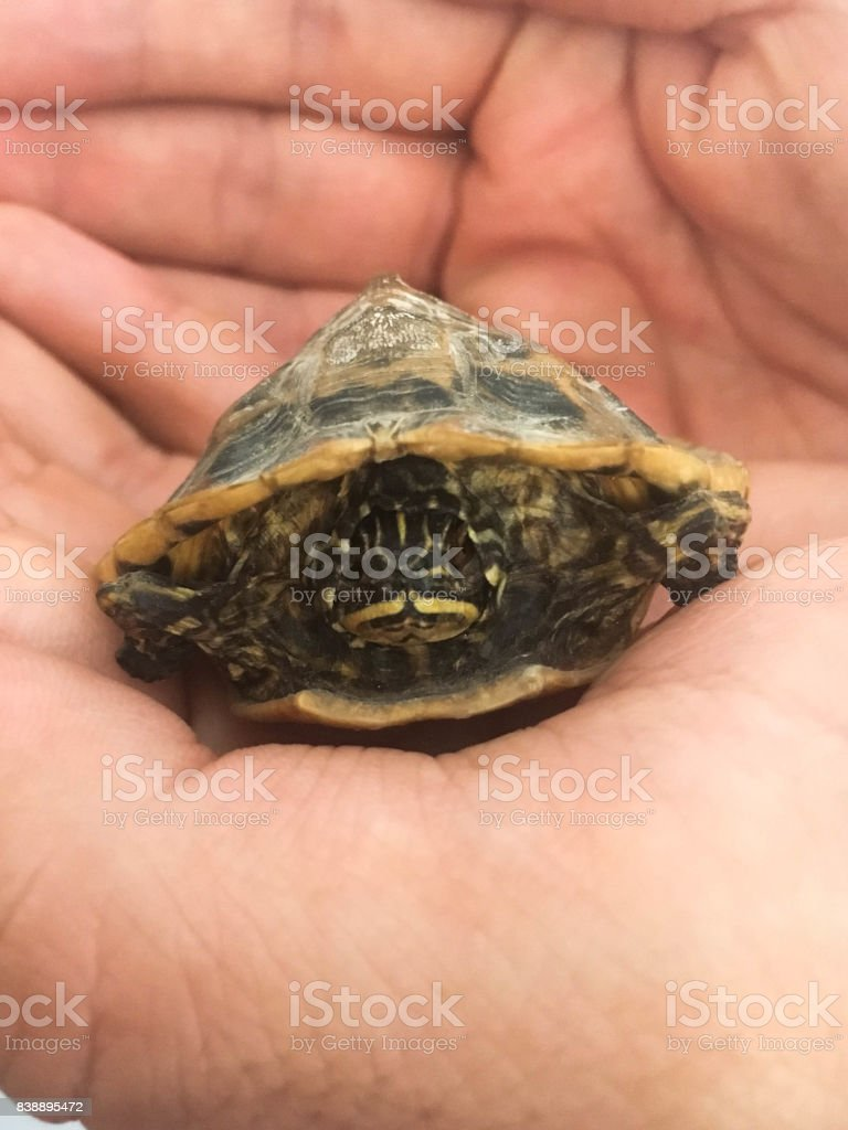 Little dried turtle in the hand stock photo