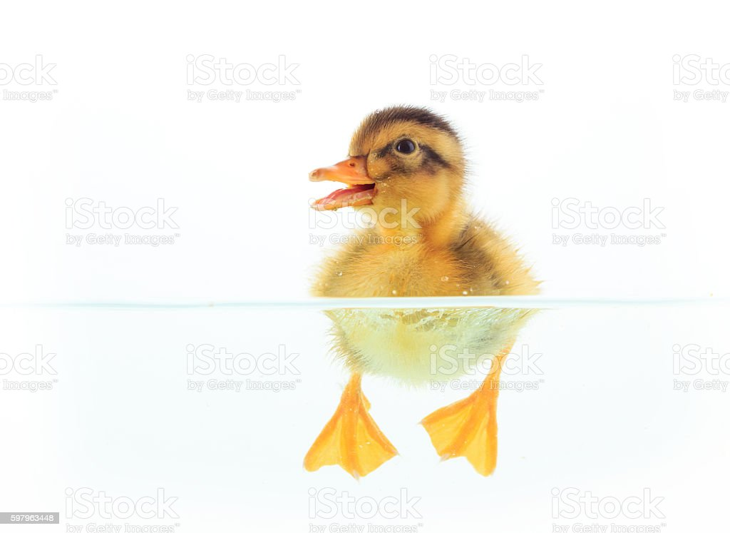 Little duck floating on water, front view stock photo