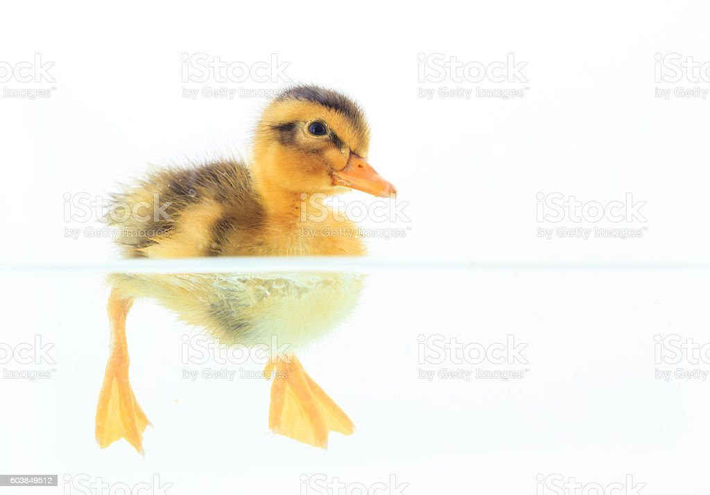 Little duck floating on water on white background stock photo