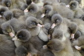 Many children duck at the poultry farm close up