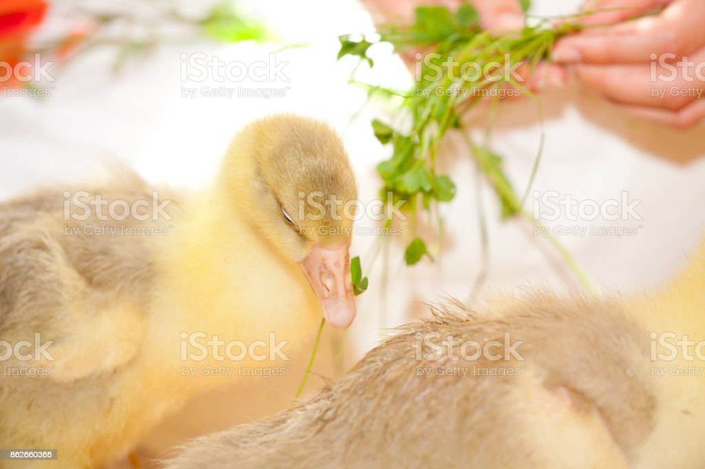 Little Ducklings stock photo
