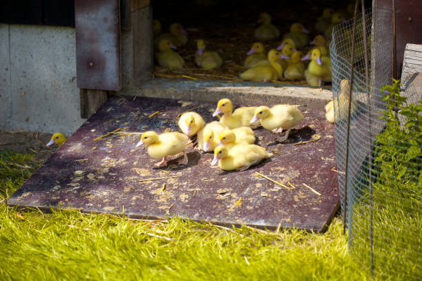 Little Ducklings Little Ducklings appropriately stock pictures, royalty-free photos & images