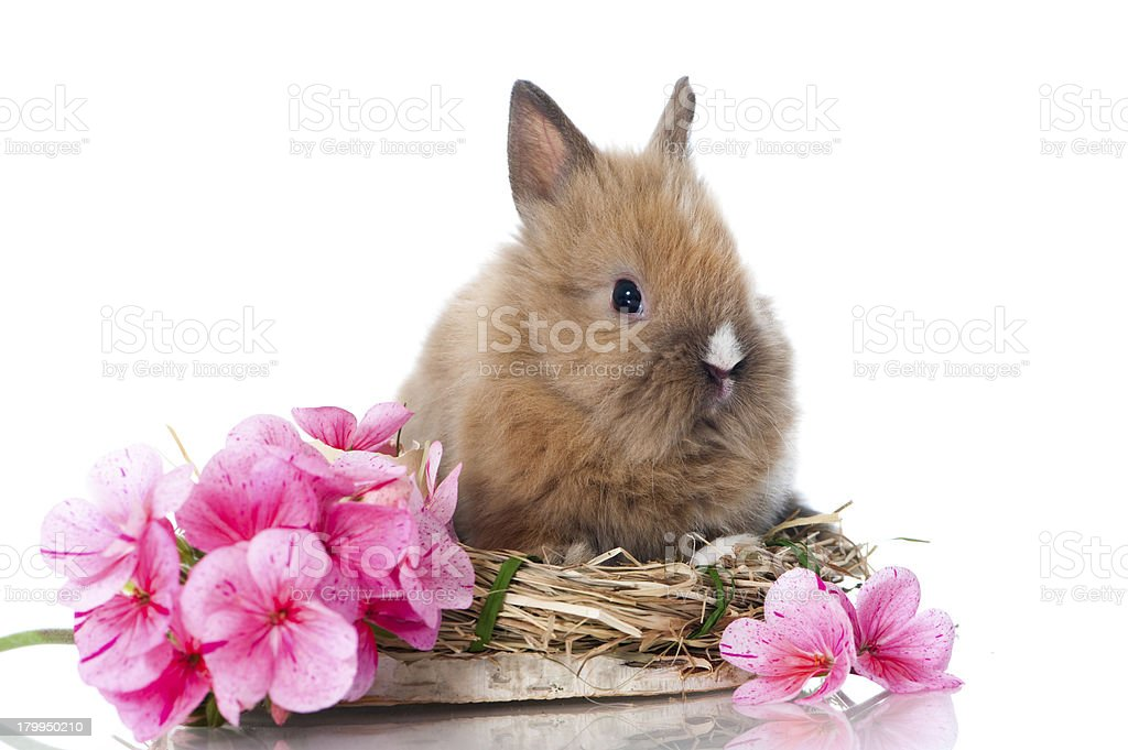 Little dwarf rabbit royalty-free stock photo