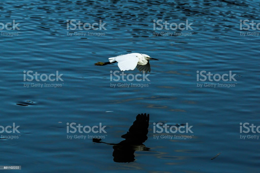 Little Egret and reflection stock photo