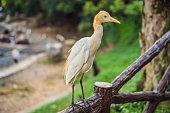 Little Egret Cattle egret Bubulcus ibis Waters Edge.