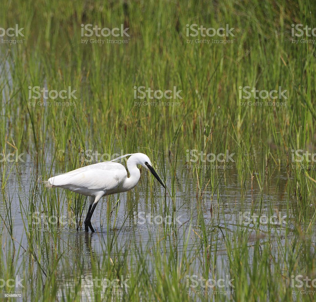 little egret fishing in a pond royalty-free stock photo