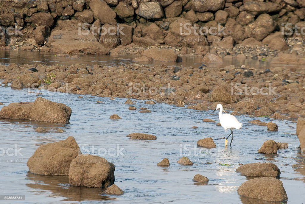 Little egret fishing in the coast stock photo