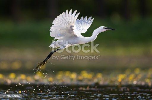 istock Little egret flying above the pond. 1279765807