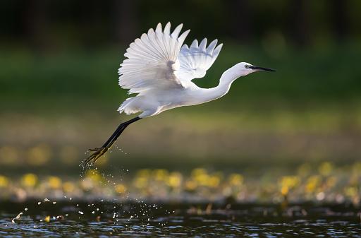 White little egret flying above the lake.
