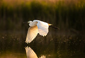 White little egret flying above pond in wetland.