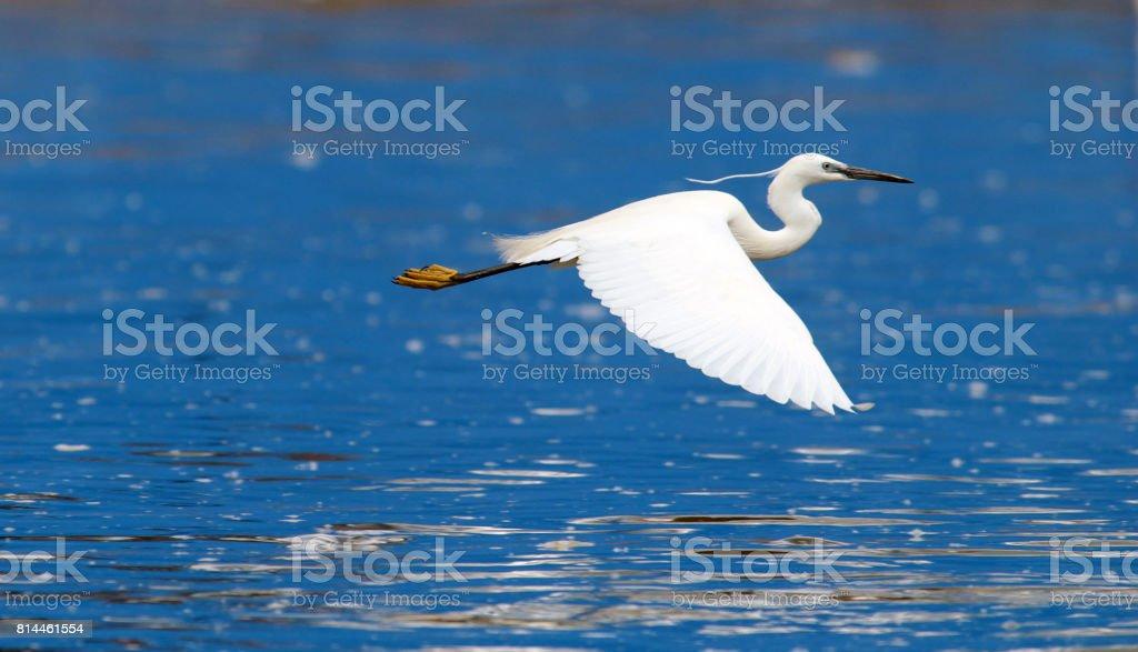 Little egret flying stock photo