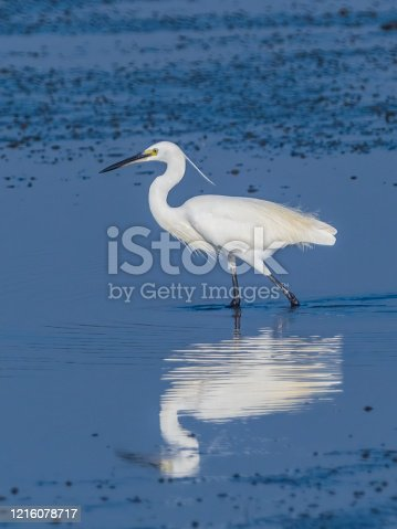 A small white egret with dark grey-black legs, black bill and a bright yellow naked face