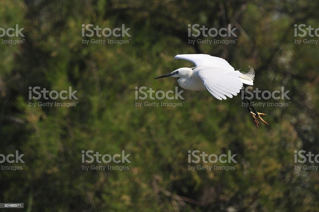 little egret in flight royalty-free stock photo
