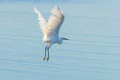 Little Egret in Flight (Egretta garzetta) Small White Heron