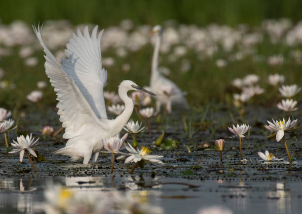 Little Egret in water lily pond stock photo