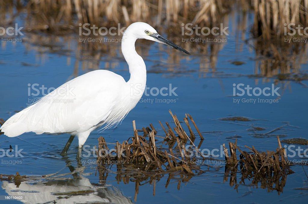 Little Egret in Water stock photo