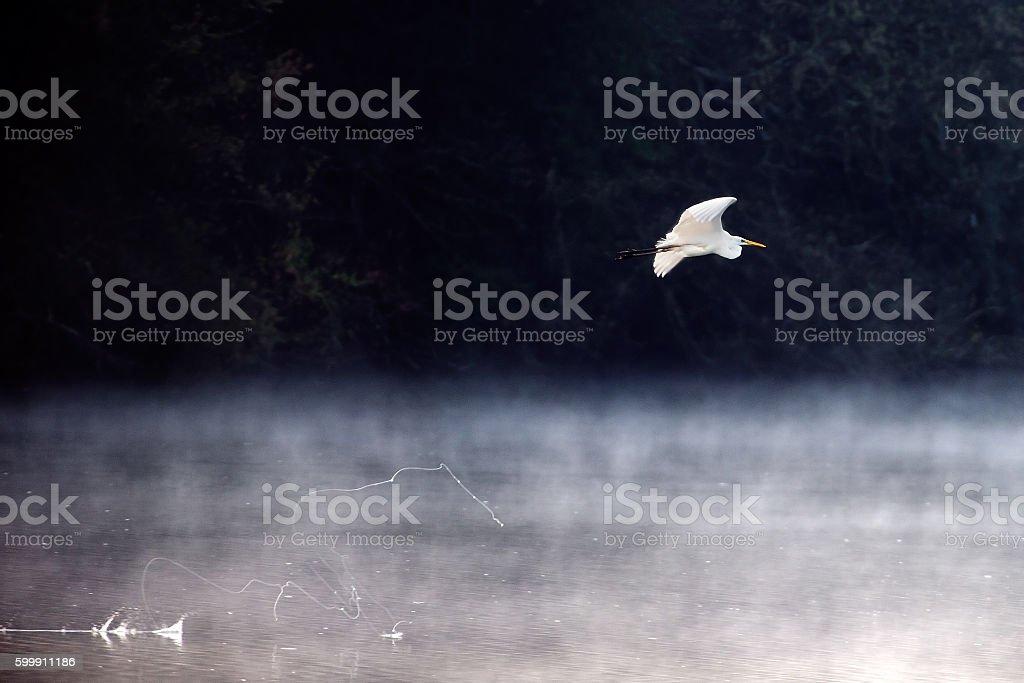 Little egret (Egretta garzetta) - Natural Reserve Tevere-Farfa stock photo