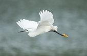 Little egret flying.