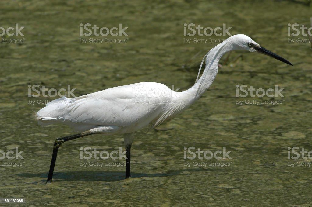 Little egret (Egretta garzetta) royalty-free stock photo