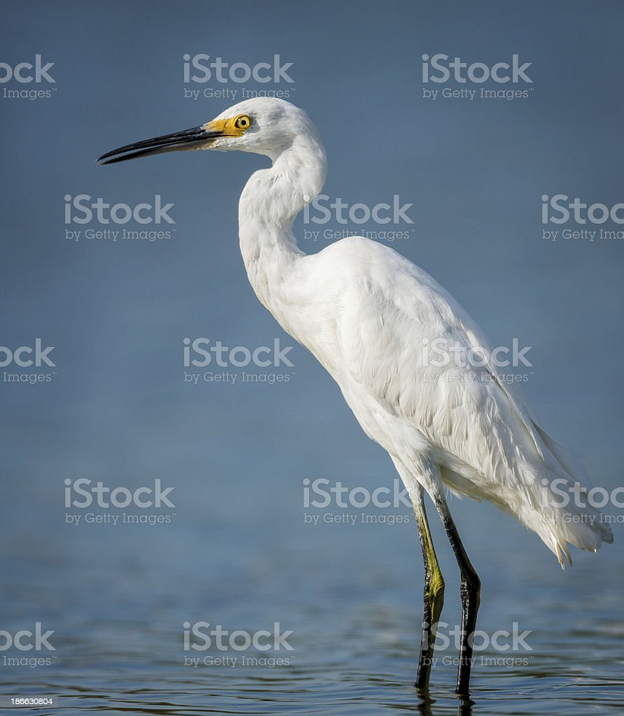 Little egret wading in Jamaica Bay stock photo