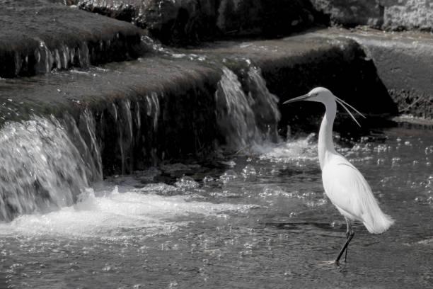 Little egret, wildlife stock photo