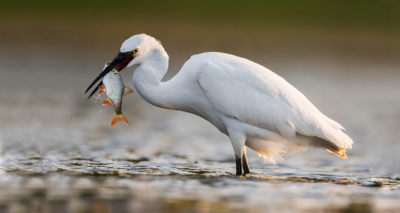 Panoramic view of little egret with a fish in pond.