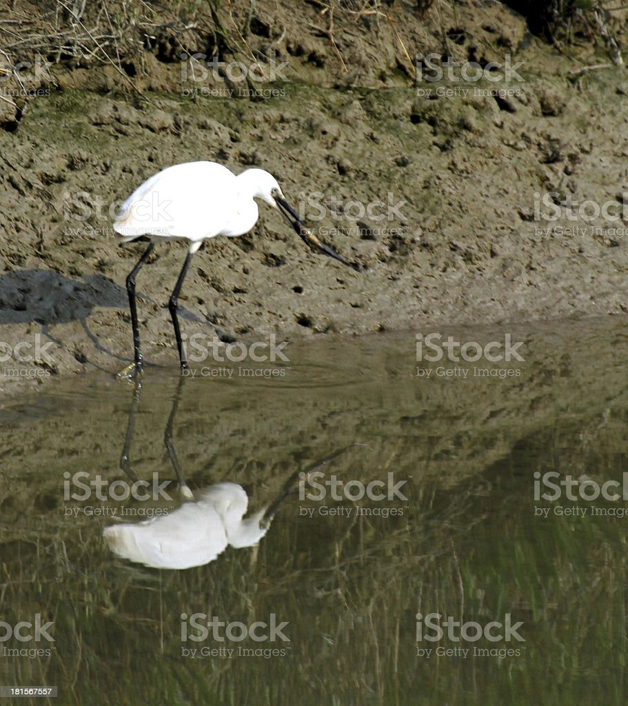 little egret with a fish in his mouth just caught royalty-free stock photo