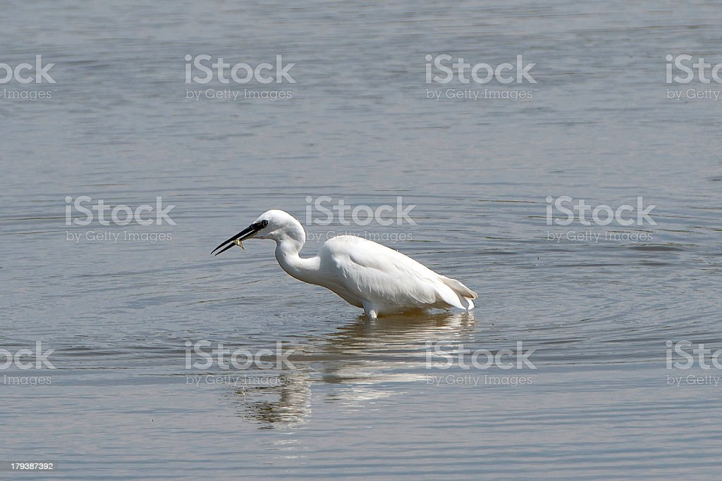 Little Egret with fish in beak royalty-free stock photo