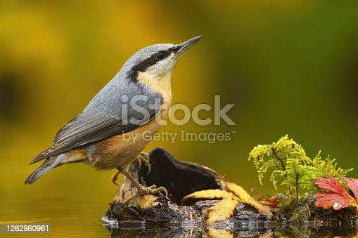Little eurasian nuthatch, sitta europaea, sitting on wood in pond in autumn. Colorful songbird with black stripe on head looking above on stump. Small animal with feather watching from side.