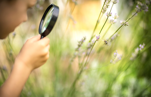 Little boy observes a honeybee on a flower through a magnifying glass.