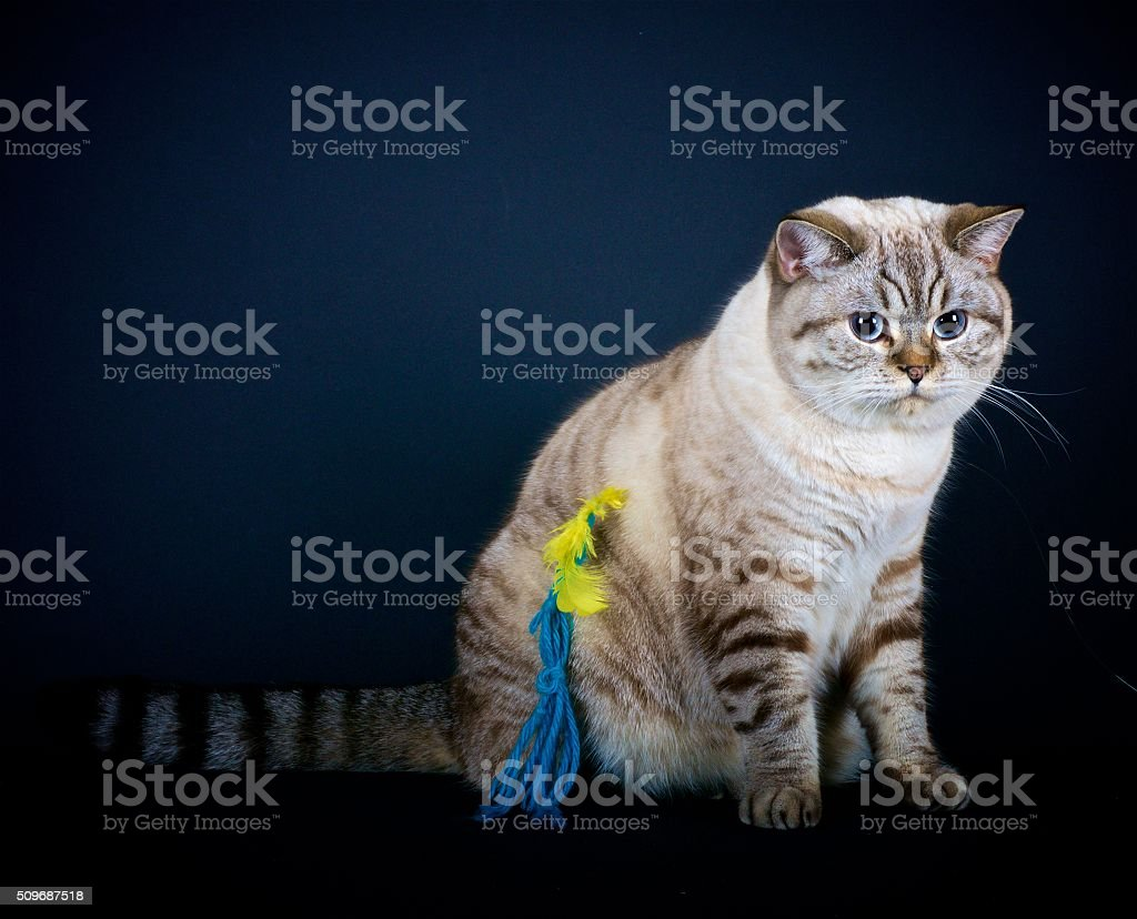 Little Fat Cat British Shorthair stock photo