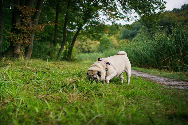 Little fat pug smelling and searching in grass after the rain.