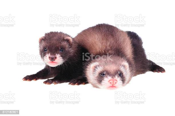 Little ferret babies picture id512182821?b=1&k=6&m=512182821&s=612x612&h=5sjf9qsvlfcjy0igc16epdob8spyyn77ap8jkevk7lu=