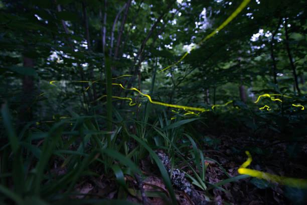 kleine glühwürmchen auf dem waldfriedhof - patrick hutter stock-fotos und bilder