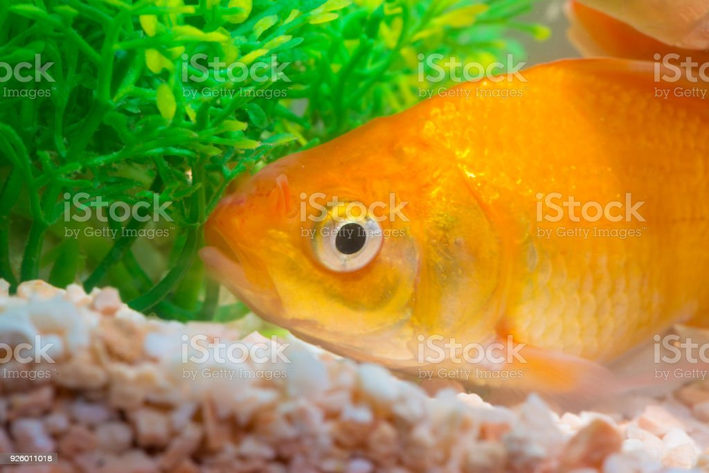 Little Fish In Fish Tank Or Aquarium Gold Fish Guppy And Red Fish