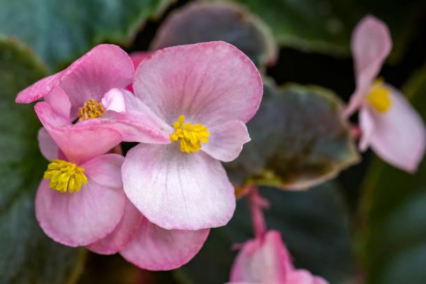 Kleine bloem roze en witte Begonia close-up - beetje bloem roze en witte macro foto foto