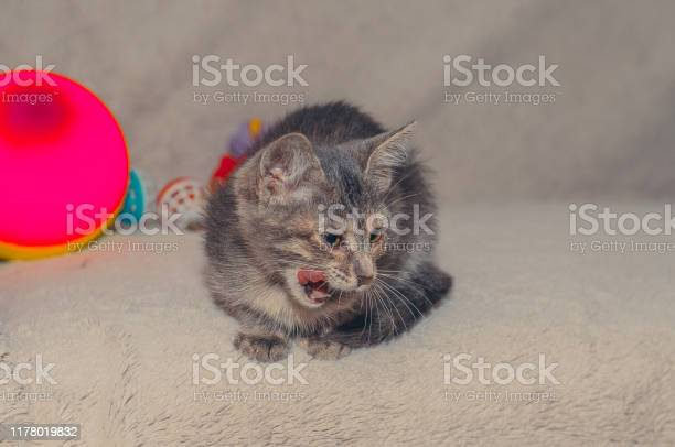 Little fluffy gray cat licks picture id1178019832?b=1&k=6&m=1178019832&s=612x612&h=h ybm6o wrhdad69p9rnq7rdnpvhqg57narcjr6cd e=