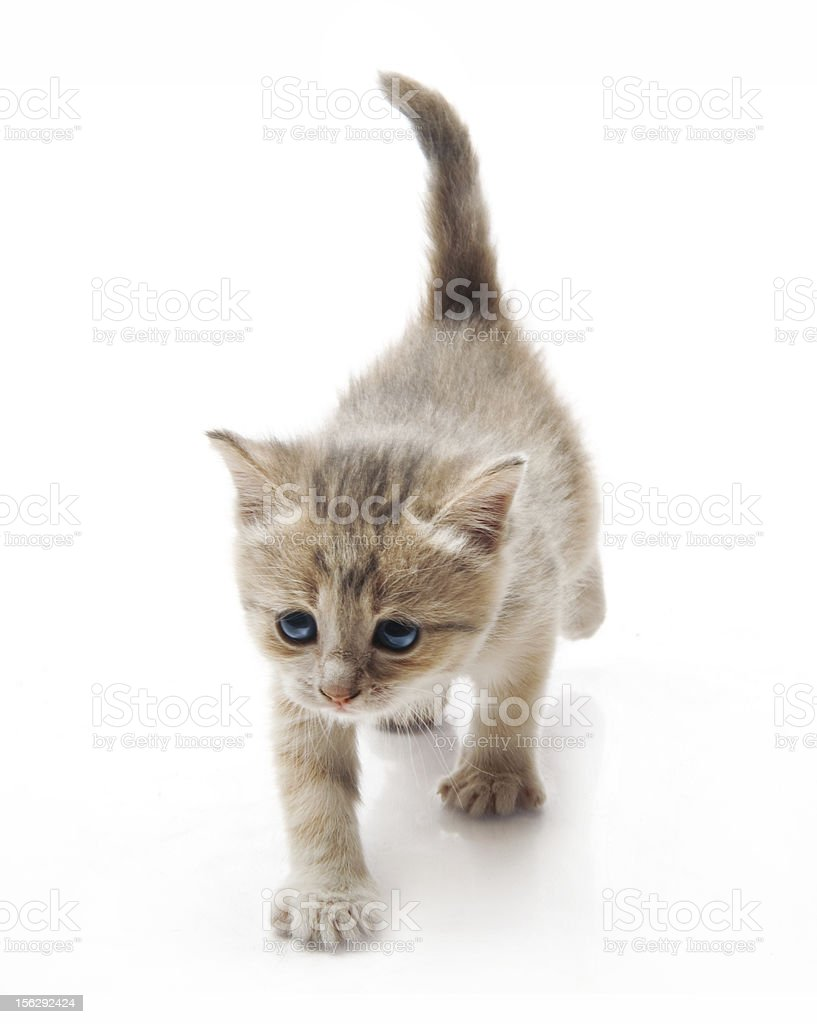 little fluffy kittens playing royalty-free stock photo