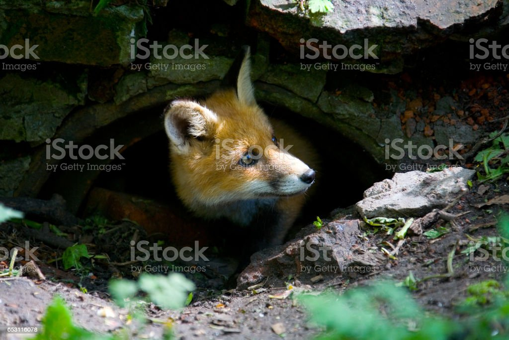 A little fluffy red fox. stock photo