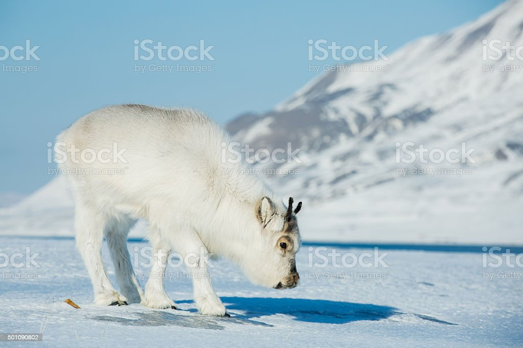 Little fluffy reindeer grazing on the snow. stock photo