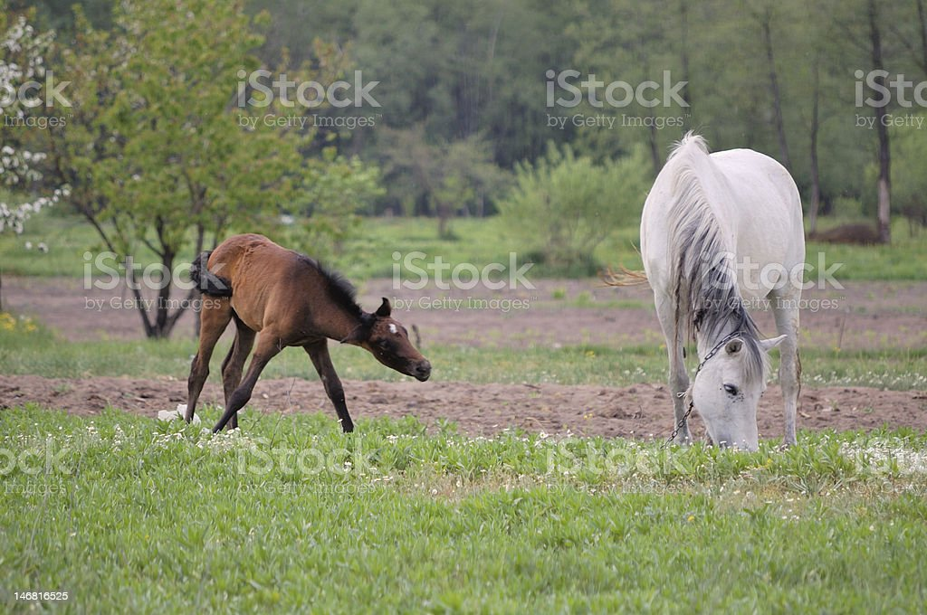 little foal with a mare royalty-free stock photo